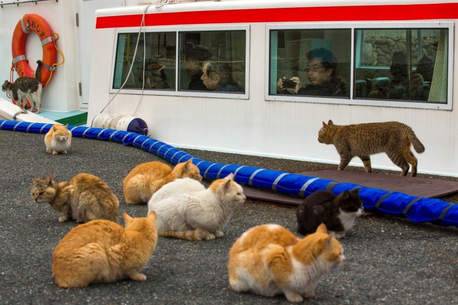 Aoshima Island has become a tourist hotspot, with hundreds of catlovers making trips daily.  Reuters: Thomas Peter