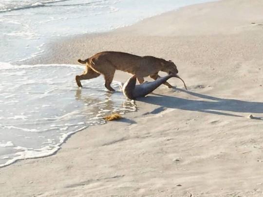 bobcat catches shark