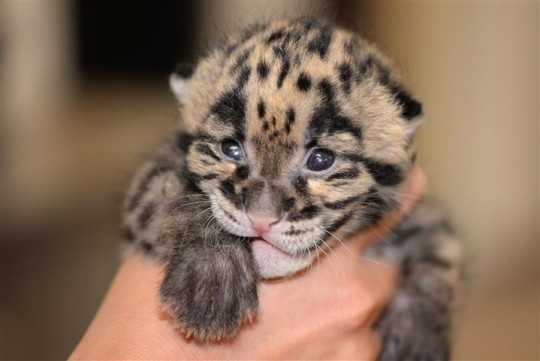Baby leopard in hand