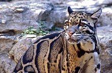 Clouded leopard  eyes