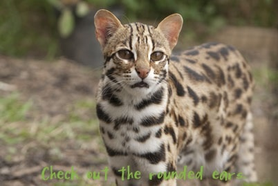Asian Leopard Cat - the wild cat  bred with domestic cats to create Bengal Cats