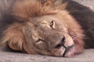 Cecil the lion, Zimbabwe